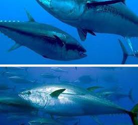 El Atún Patudo, una especie amenazada por la sobrepesca