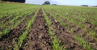 Con rumbo a los 21,5 millones de toneladas, el trigo atraviesa agosto mejor que en el 2018