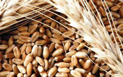 Buenos rendimientos para el trigo en el centro norte de Santa Fe