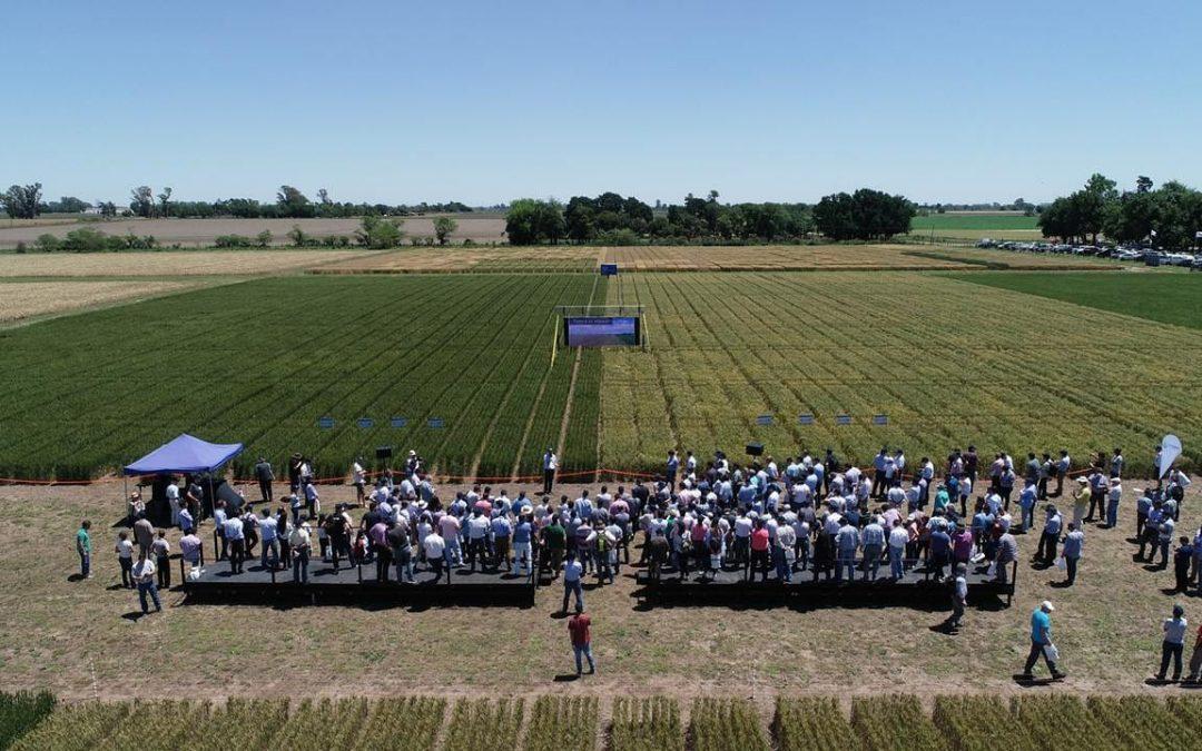 El trigo tolerante a sequía ya es una realidad