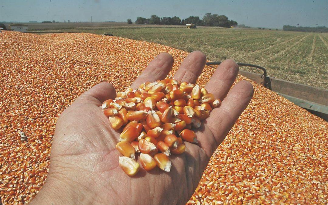 Continúa la tendencia de negocios por maíz disponible en elmercado de granos local