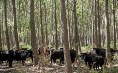 Sistemas silvopastoriles: más que silvicultura y ganadería