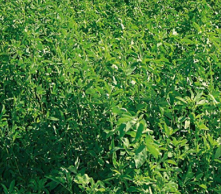 La alfalfa también tiene lugares en ambientes limitantes