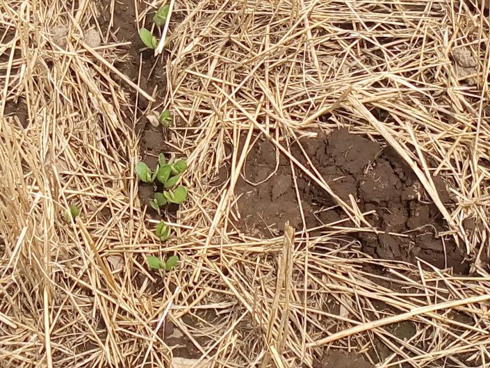 Ya están implantadas 16 millones de héctareas con soja en el país