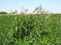 Estiman pérdidas de U$S 10 millones en el norte de Córdoba por malezas en los cultivos