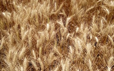 Buenas condiciones climáticas permitieron avanzar con la cosecha fina