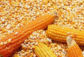Jueves con activa demanda por maíz en el mercado de granos local