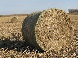Pruebe los niveles de nitrato en los tallos de maíz enrollados y alimente al ganado con precaución, dice Gene Schmitz, especialista en ganadería de la Universidad de Missouri.
