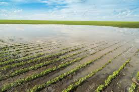 Soja: entre 100.000 y 150.000 hectáreas podrían perderse por las lluvias de diciembre