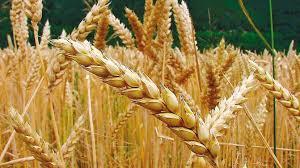 En los Estados Unidos el precio del trigo acumuló una suba del 3,2% en sólo dos ruedas