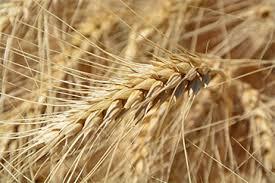El trigo argentino es el más caro del mundo y queda poco saldo exportable