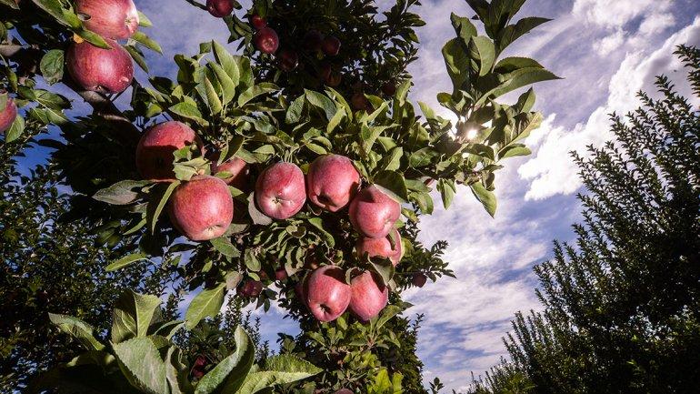 Las manzanas orgánicas les dan vida a las chacras