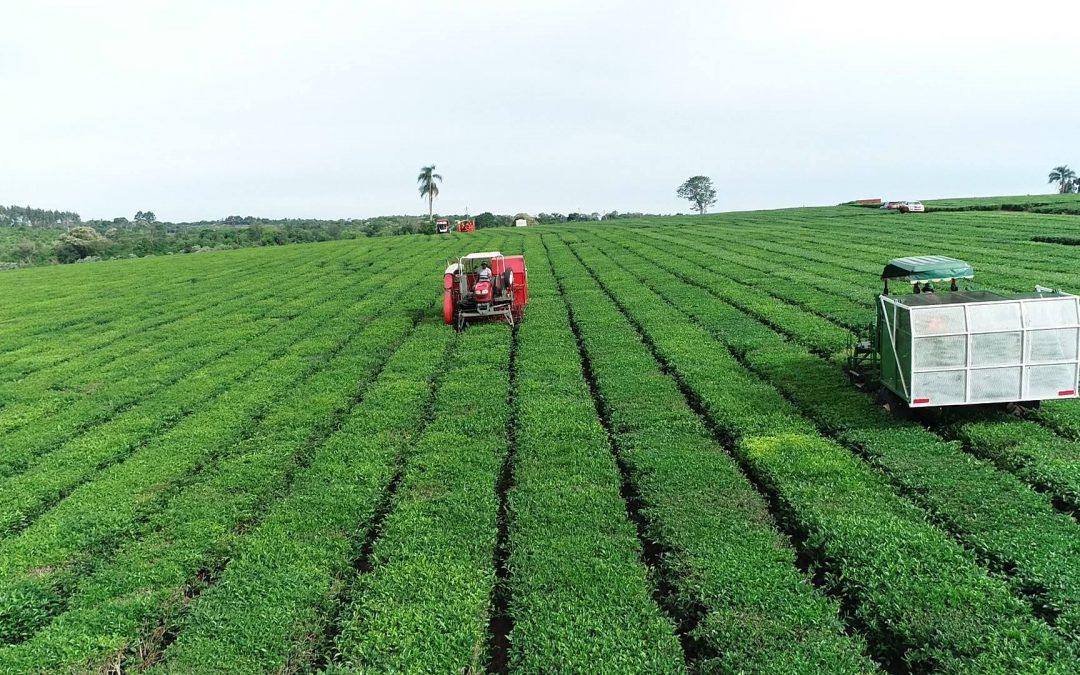 Argentina lidera la producción de té en América