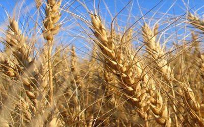 Impacta la cadena de trigo en la provincia de Santa Fe
