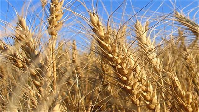 Finalizó cosecha récord de granos finos y se redujo área de soja