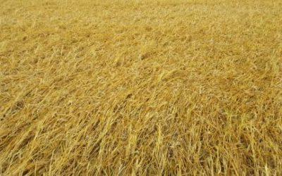 Temporal arrasó con el trigo en el sur bonaerense y causó destrozos en silos