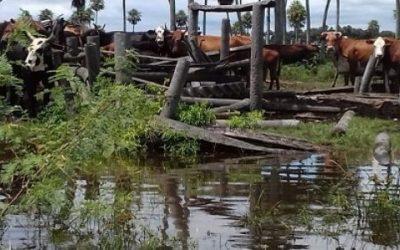 Inundaciones: cómo manejar al ganado y reducir el impacto