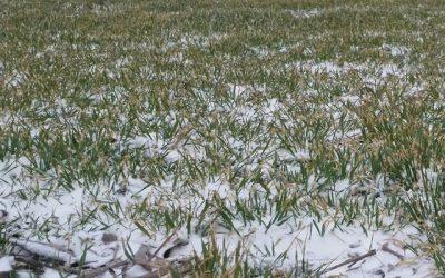 Cinturón Triguero del Medio Oeste: mortandad invernal de trigo debido a baja cobertura de nieve