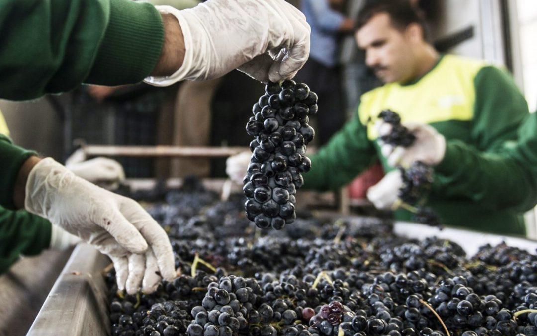 Federación Agraria pide que el gobierno mendocino compre uva