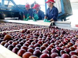 Estiman una baja del 66% en la producción de ciruelas mendocinas, pero con mejor calidad