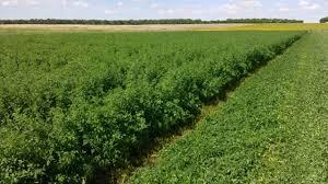 Implantar una alfalfa para henificación cuesta 47% más