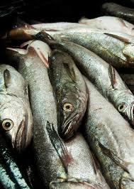 Bajan 32% la captura máxima permitida de merluza austral en mar argentino