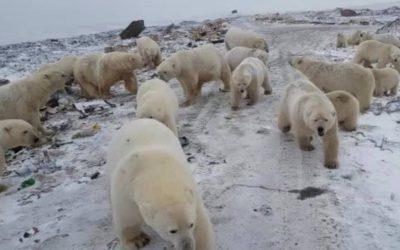 Temor en archipiélago ruso sitiado por osos polares hambrientos