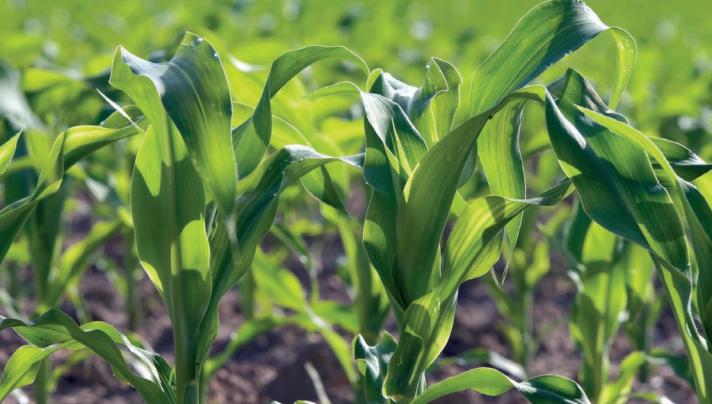 Argentina autorizó un nuevo evento en maíz con tolerancia al herbicida 2,4-D