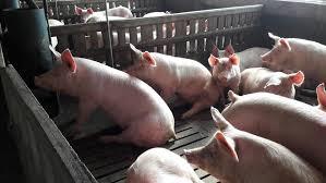 Mayor transparencia para la producción porcina