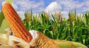 Las exportaciones mensuales de maíz fueron récord por segundo mes consecutivo