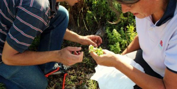 Peperina: estudian cómo realizar una recolección sustentable