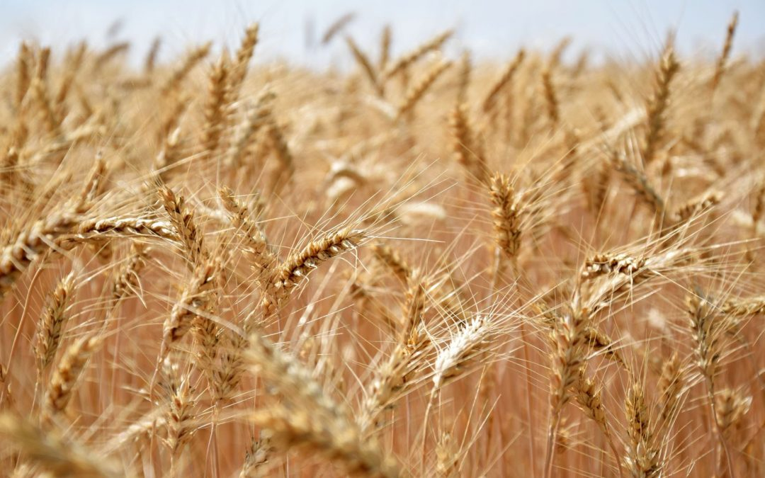 La importancia de trazar un plan para el trigo