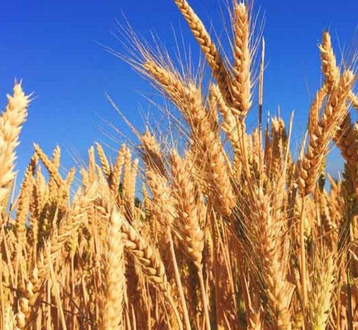 Mercado local de granos con ganancias para el trigo disponible