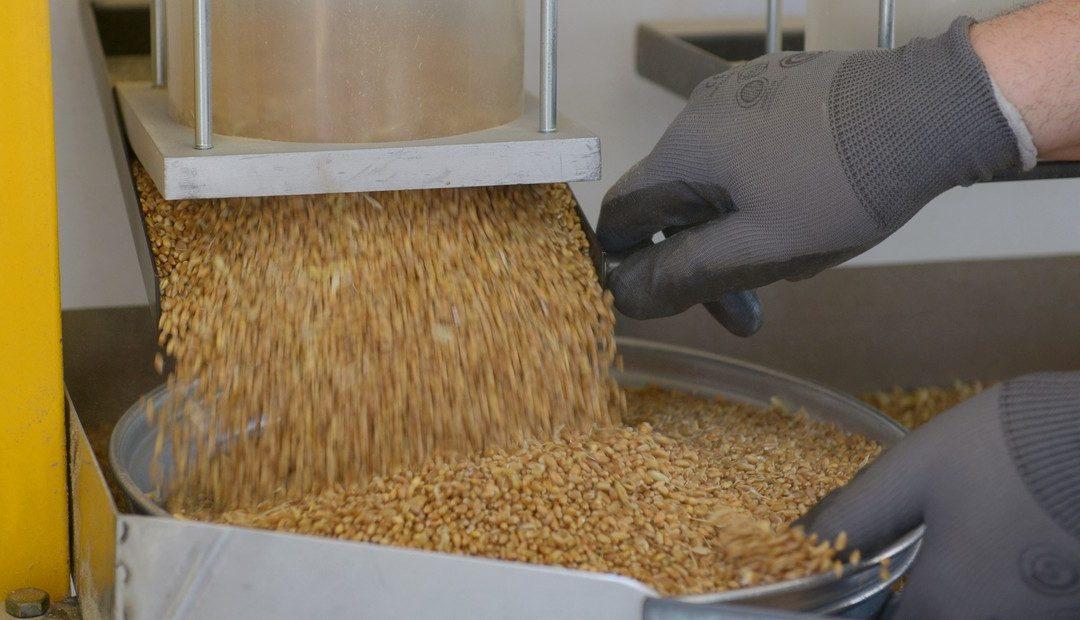 Trigo agroecológico: Santa Fe realizó la primera molienda a gran escala