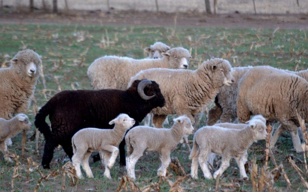La Provincia aprueba 34 proyectos ovinos por más de $20 millones