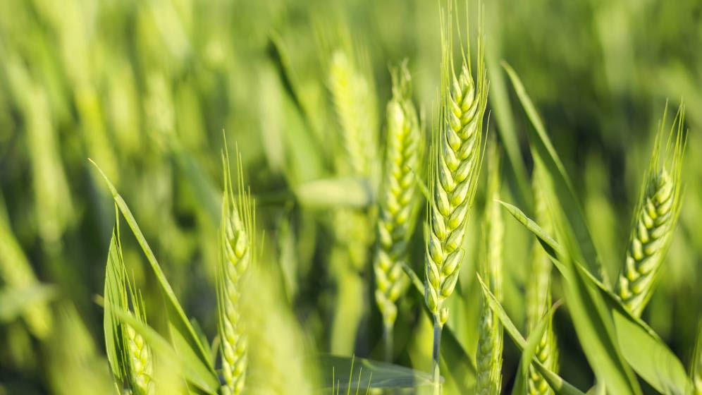 Un pack para asegurar el rinde de trigo