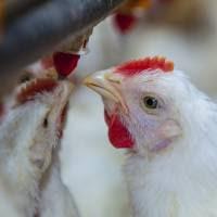 La producción avícola argentina creció casi un 4% en los primeros cinco meses