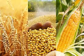 Activa rueda en el mercado de granos local