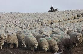 Por un conflicto con Senasa, podrían morir 30 mil ovejas de Cristóbal López