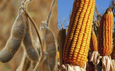 Este año la producción de maíz superará a la de soja