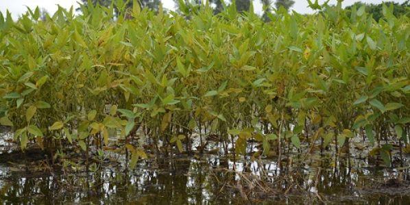Cómo afectan las inundaciones a la soja y al algodón