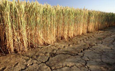 Australia reduce la previsión de exportaciones de trigo en un 18% debido a la sequía que afecta la oferta