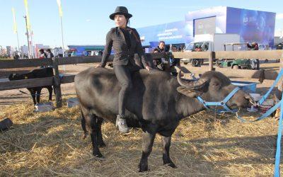 Los búfalos son el nuevo atractivo en los palenques de Agroactiva