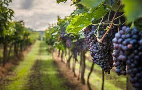 Argentina: Desarrollan innovadora herramienta para la cosecha de uvas