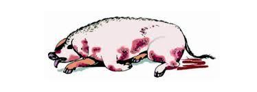 Peste porcina africana: La importancia de mantener el estatus del país como exento de la temida enfermedad