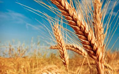 A pesar de la humedad, la siembra triguera en la zona núcleo hace punta con el 60% implantado