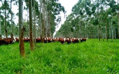 La adopción de Sistemas Foresto Ganaderos aumenta la rentabilidad de la producción agropecuaria