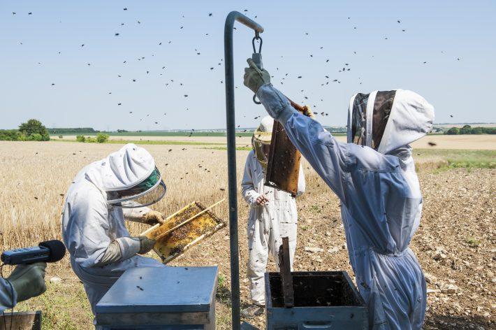 La agricultura orgánica mejora el rendimiento de la colonia de abejas en un período crucial de escasez de flores