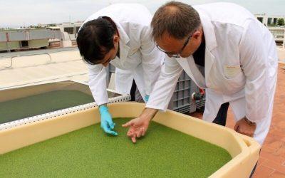 La lenteja de agua, tecnología de cultivo para transformar los excrementos en materia rica en proteínas