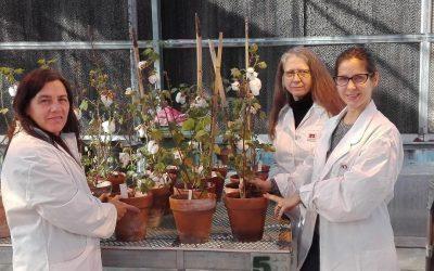 El INTA obtuvo plantas transgénicas de algodón